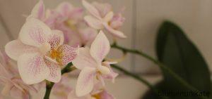 orchideen-liebe-drei