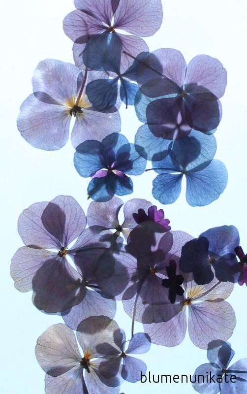 Die üppige Blütenvielfalt Und Dieses Farbenspiel Faszinieren Mich Jedes  Jahr Aufs Neue. Meine Gartenhortensie Darf Auch Ihren Farbverlauf Selbst  Bestimmen.